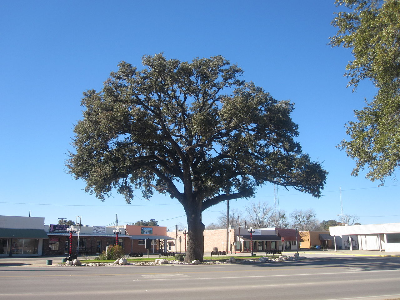 1280px-oak_tree_in_pleasanton_tx_img_2618